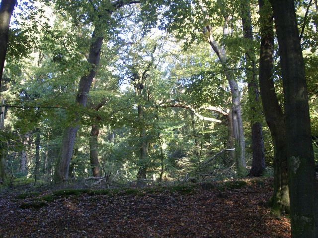 Handewitter Wald (bilde fra Wiki)