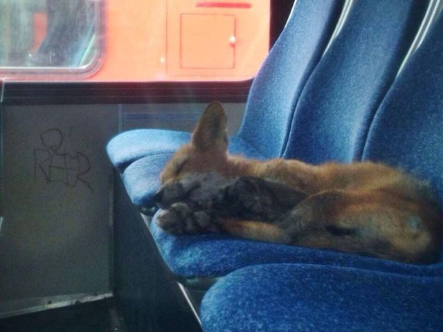 A fox cub sleeping on the back seats of a bus