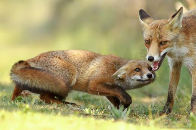 Two foxes one of them with its head lowered down so that it looks almost flat