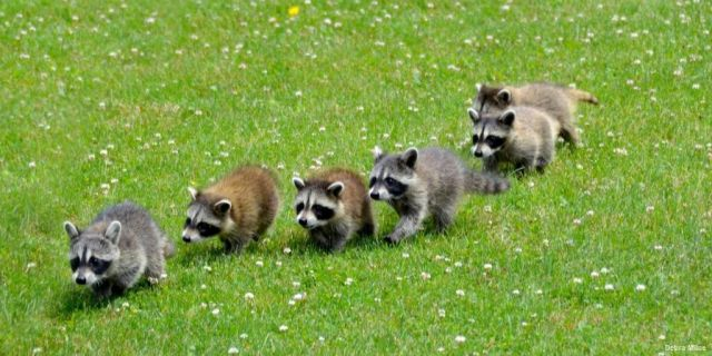 Six baby raccoons walking on the grass