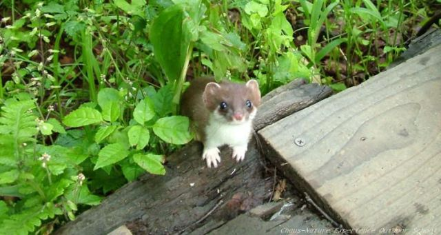 A stoat coming out of leaves on the ground
