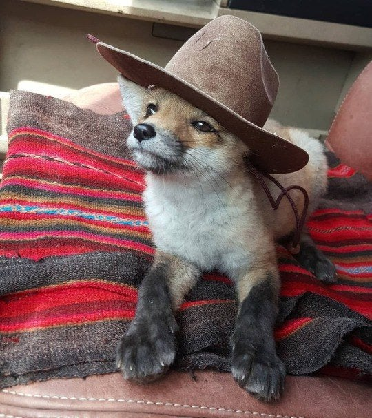 A fox kit wearing a cowboy hat