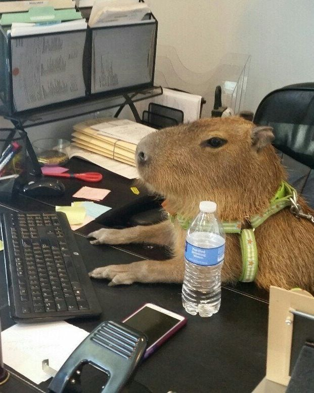 A capybara sitting at a desk, with its paws on a keyboard