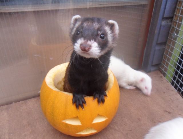 A curious ferret coming out of a carved pumpkin
