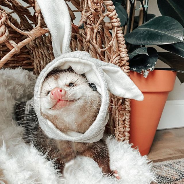 A possum smiling and wearing an Easter bunny hat