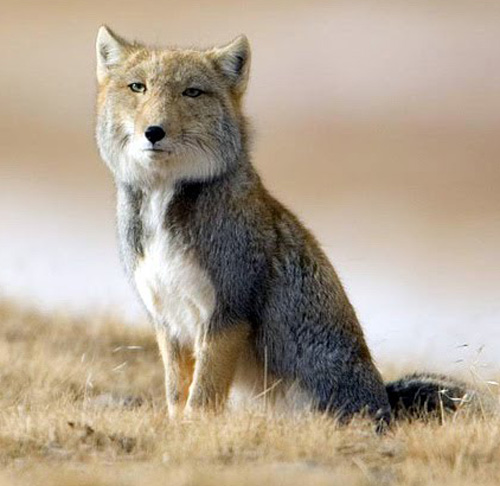 A tibetan sand fox, with a square head