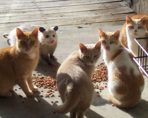 Photograph of four cats standing around cat food, turning over to look at a camera, and an opossum next to them smiling and trying to fit in
