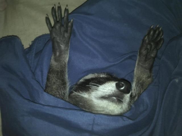 Photograph of a raccoon sleeping in a blanket with its arms raised