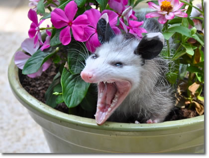 A possum in a flower pot, hissing with its mouth wide open