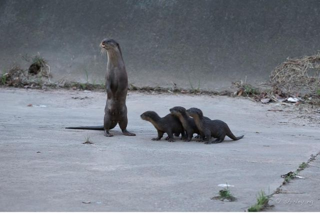 A standing Asian otter next to three pups