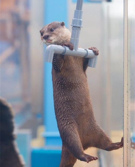 A river otter doing pull-ups on a plastic pipe