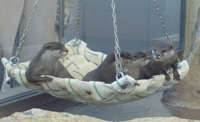 Four otters laying on a hanging chair and cuddling