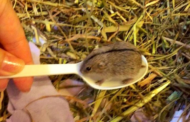 A very small hairy lemming fitting in a plastic teaspoon, lifted by someone, in front of hay